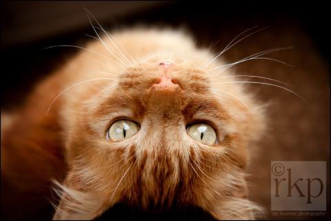 Ginger cat looking up at camera