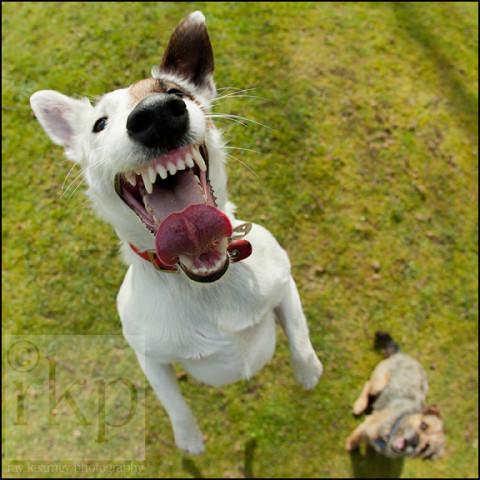 Playful terrier
