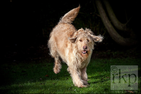 Labradoodle running in the sunshine