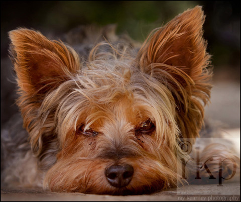 Yorkshire Terrier close up