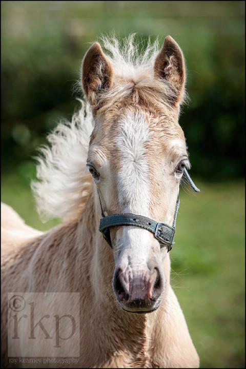 Head shot of Palomino foal